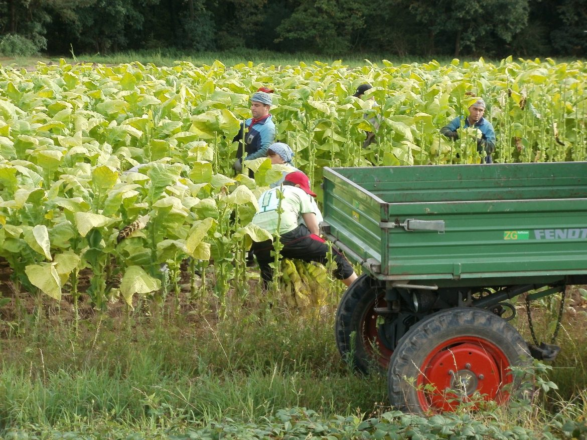 Child Labor Increases in Tobacco Industry